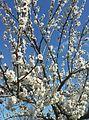 Apricot tree Aghdam, Azerbaijan Rafael Guliyev's garden.jpg