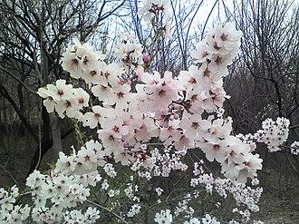 Prunus armeniaca - Apricot flowers in the village of Benhama, Kashmir