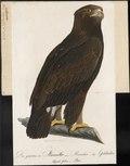 Aquila chrysaëtos - 1800-1812 - Print - Iconographia Zoologica - Special Collections University of Amsterdam - UBA01 IZ18100157.tif