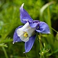 Aquilegia alpina-4931 - Flickr - Ragnhild & Neil Crawford.jpg