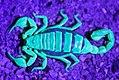 Arachnida, Scorpiones, Paruroctonus scorpion under UV (4818403697).jpg