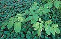 Aralia californica kz1.jpg