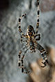 Araneus diadematus underside.jpg