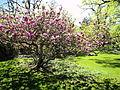 Arboretum Zürich - Magnolia × soulangeana 2012-04-26 15-38-58 (P7000).JPG