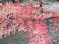 Arboretum de Bagnoles - Cyprès chauve (feuillage).jpg