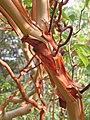 Arbutus andrachne bark (Ab plant 102).jpg
