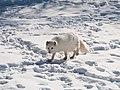 Arctic Fox mrpolyonymous (16086442258).jpg