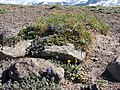 Arctic Lupine on 1st Burroughs Mountain. (ab0325acb4ad487ba55c23b129de1d53).JPG