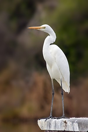 Eastern great egret - Non-breeding plumage in Tasmania