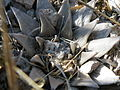 Ariocarpus retusus (5703221365).jpg