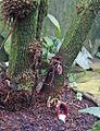 Aristolochia arborea - Palmengarten Frankfurt (Main).jpg