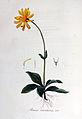 Arnica montana — Flora Batava — Volume v6.jpg