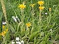 Arnica sororia (3293013414).jpg