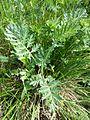 Artemisia pancicii sl16.jpg
