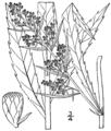 Artemisia serrata BB-1913.png