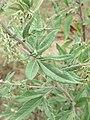 Artemisia vulgaris Mugwort, Common wormwood, Felon Herb at Thimphu during LGFC - Bhutan 2019 (2).jpg