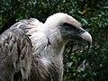 Artis Vulture (5528861065).jpg