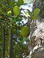 Artocarpus heterophyllus-Jardin botanique de Kandy (3).jpg