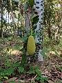 Artocarpus heterophyllus 34.jpg