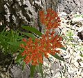 Asclepias tuberosa – Butterfly Milkweed - Flickr - gailhampshire.jpg