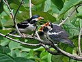 Asian Pied Starling (Sturnus contra)- Adult feeding Juveniles in Kolkata I IMG 9866.jpg