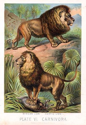 Asiatic lion - African (above) and Asiatic (below) lions, as illustrated in Johnsons Book of Nature