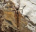 Asilidae Robberfly (40085473592).jpg