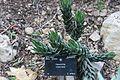 Asparagales - Haworthia coarctata - 1.jpg