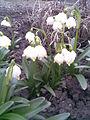 Asparagales - Leucojum vernum 1 - 2011.03.29.jpg