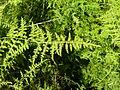 Asparagus setaceus, b, Krugersdorp.jpg
