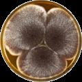 Aspergillus aculeatinus meaox.png