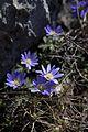 Asteraceae anemon (3).jpg