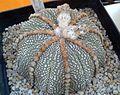 Astrophytum asterias 1e.jpg
