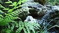 Athyrium filix-femina 2.jpg