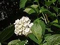 Atlas roslin pl Hortensja ogrodowa 1191 7167.jpg