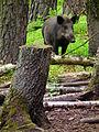 Aus dem Unterholz Klein-Auheim Juni 2012 Wildschwein.JPG