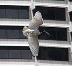 Australian White Ibis in flight (30382876300).jpg