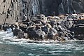 Australian fur seals male colony at The Friars - Pennicott Bruny Island cruise (33071026924).jpg