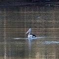 Australian pelican Burke River Boulia Queensland P1030512.jpg