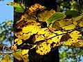 Autumn Leaves South Toe River Celo Camp NC 4246 (26172067079).jpg