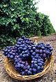 Autumn Royal grapes.jpg