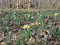 Avilly-Saint-Léonard (60), fleurissement des jonquilles dans la forêt de Chantilly 8.JPG