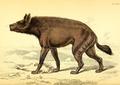 Azara naked hyena.png