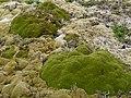 Azorelle - mousse - panoramio.jpg