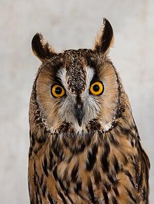 Close-up of a captive exemplar of Long-eared owl (Asio otus), Arcos de la Frontera, Cádiz, Spain.