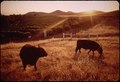 BLACK ANGUS CATTLE AND CITRUS GROVE - NARA - 542652.tif