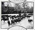 Baño del ganado en el Tajo, de Goñi, Blanco y Negro, 08-12-1906.jpg