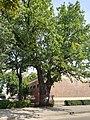 Babruysk giant oak 1.jpg
