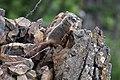 Baby marmot near Calcite Springs Overlook (28059461027).jpg