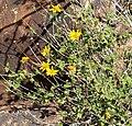 Bahiopsis parishii 4.jpg